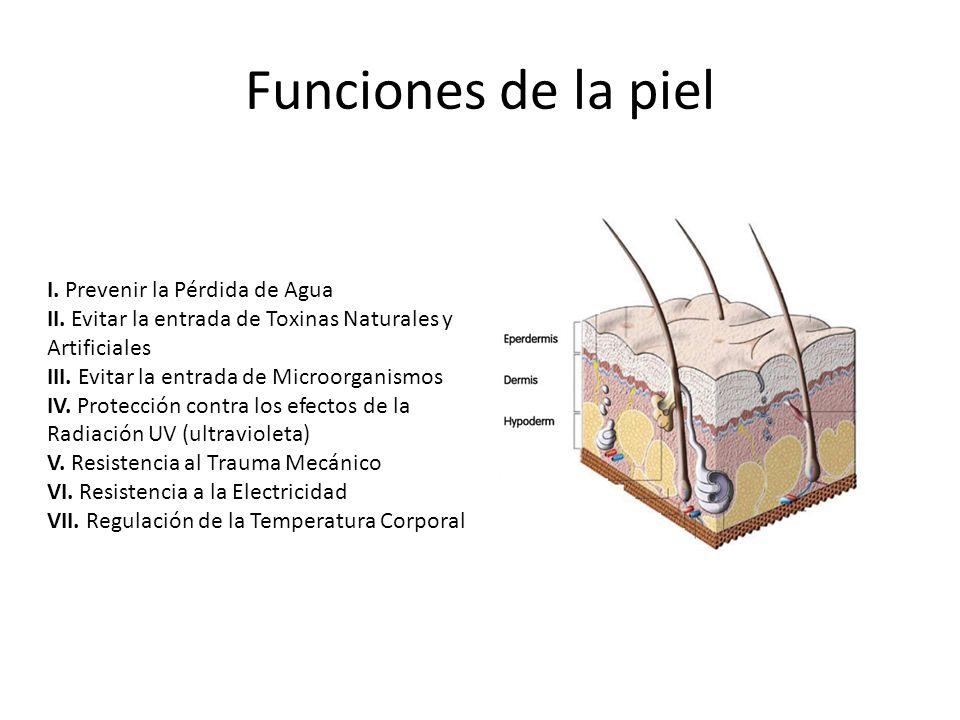 Funciones de la piel I.Prevenir la Pérdida de Agua II.