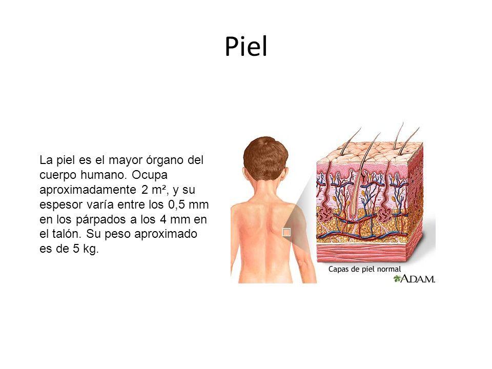 Piel La piel es el mayor órgano del cuerpo humano.