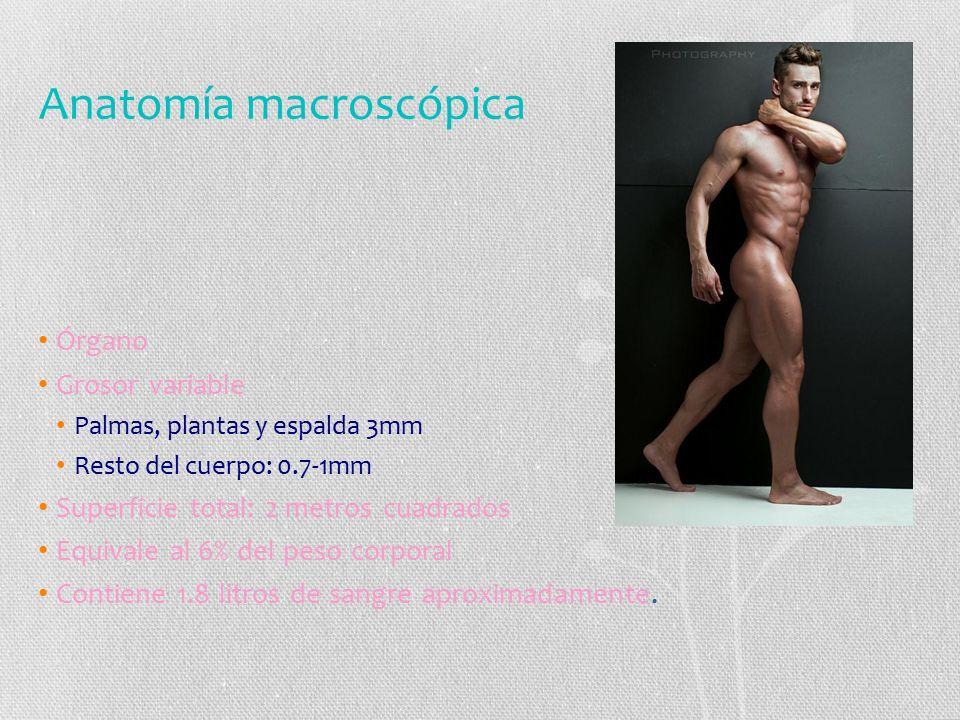 Anatomía macroscópica Órgano Grosor variable Palmas, plantas y espalda 3mm Resto del cuerpo: 0.7-1mm Superficie total: 2 metros cuadrados Equivale al 6% del peso corporal Contiene 1.8 litros de sangre aproximadamente.