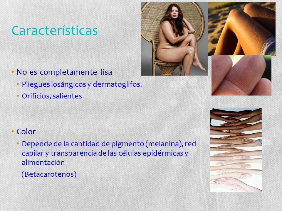 Características No es completamente lisa Pliegues losángicos y dermatoglifos.