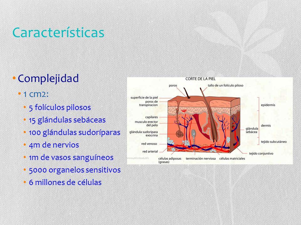 Características Complejidad 1 cm2: 5 folículos pilosos 15 glándulas sebáceas 100 glándulas sudoríparas 4m de nervios 1m de vasos sanguíneos 5000 organelos sensitivos 6 millones de células