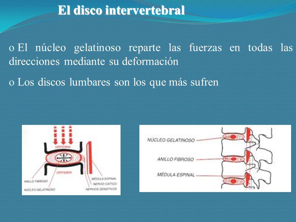 El disco intervertebral o El núcleo gelatinoso reparte las fuerzas en todas las direcciones mediante su deformación o Los discos lumbares son los que más sufren