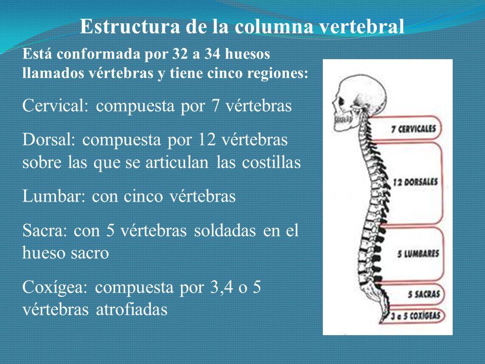 Estructura de la columna vertebral Está conformada por 32 a 34 huesos llamados vértebras y tiene cinco regiones: Cervical: compuesta por 7 vértebras Dorsal: compuesta por 12 vértebras sobre las que se articulan las costillas Lumbar: con cinco vértebras Sacra: con 5 vértebras soldadas en el hueso sacro Coxígea: compuesta por 3,4 o 5 vértebras atrofiadas