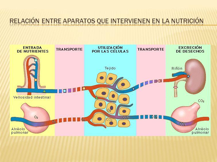  Las células, para llevar a cabo sus funciones vitales (nutrición, relación y reproducción), utilizan los nutrientes obtenidos (oxígeno, glucosa, ácidos grasos, etc.) en unas reacciones químicas denominadas reacciones metabólicas.