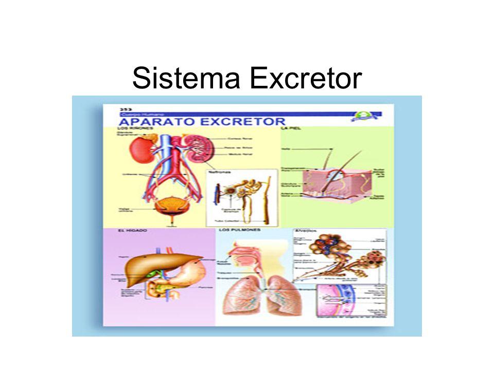 La Excreción Así como el cuerpo incorpora nutrientes y sustancias necesarias para vivir, también debe eliminar aquellas que resultan de la actividad celular.