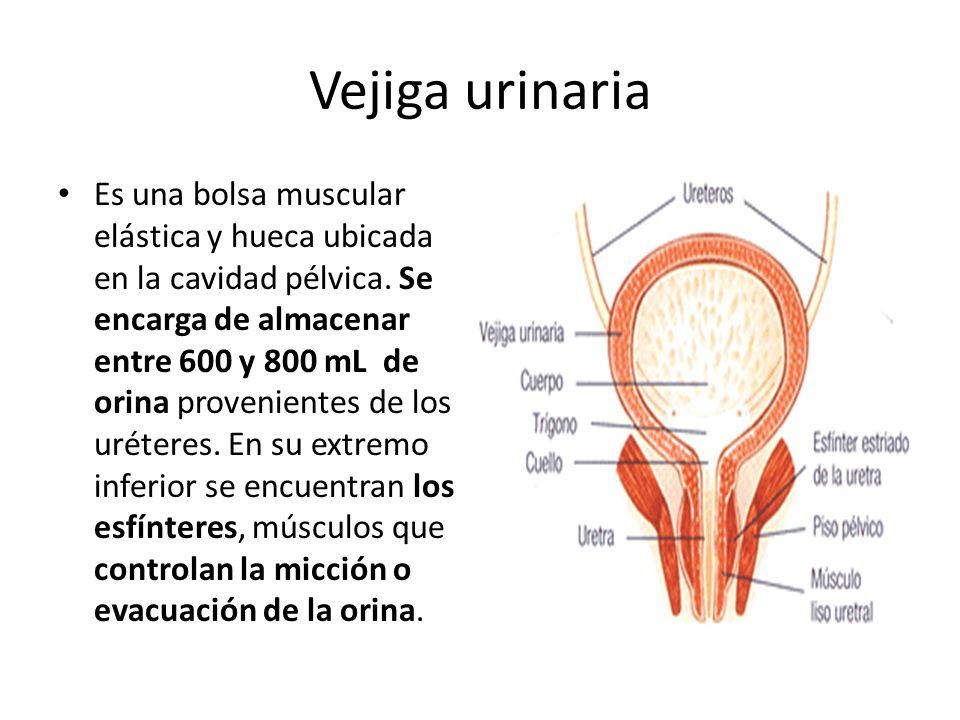 Vejiga urinaria Es una bolsa muscular elástica y hueca ubicada en la cavidad pélvica.