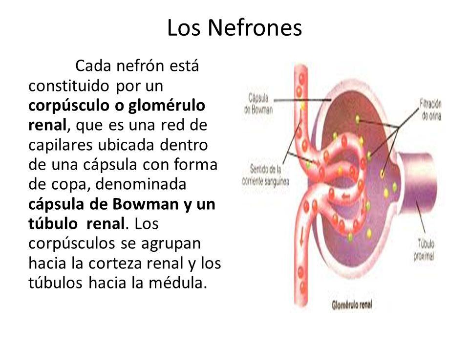 Los Nefrones Cada nefrón está constituido por un corpúsculo o glomérulo renal, que es una red de capilares ubicada dentro de una cápsula con forma de copa, denominada cápsula de Bowman y un túbulo renal.