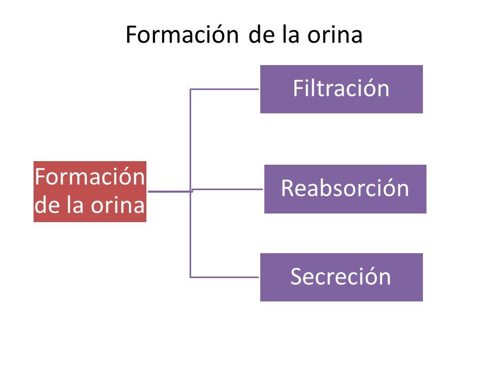Formación de la orina Filtración Reabsorción Secreción