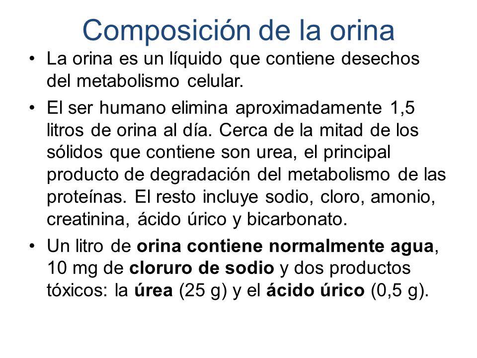Composición de la orina La orina es un líquido que contiene desechos del metabolismo celular.
