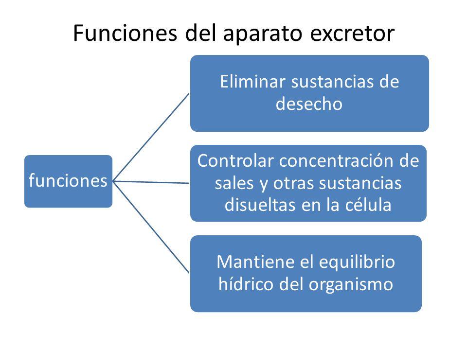 Funciones del aparato excretor funciones Eliminar sustancias de desecho Controlar concentración de sales y otras sustancias disueltas en la célula Mantiene el equilibrio hídrico del organismo