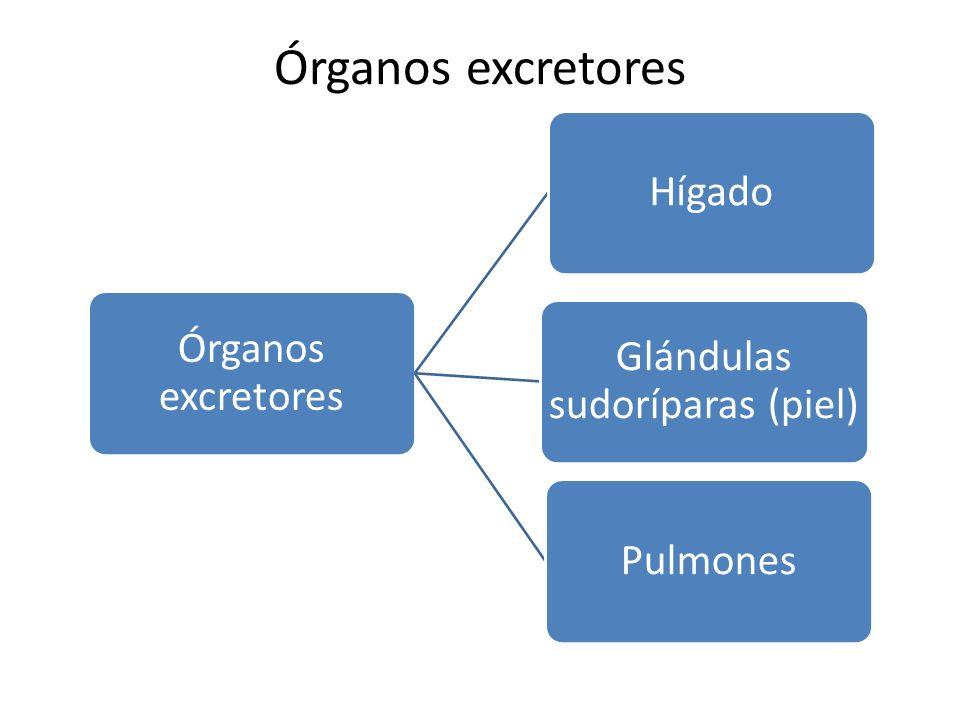 Órganos excretores Hígado Glándulas sudoríparas (piel) Pulmones