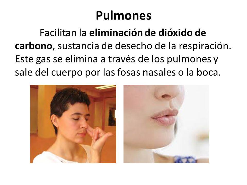 Pulmones Facilitan la eliminación de dióxido de carbono, sustancia de desecho de la respiración.