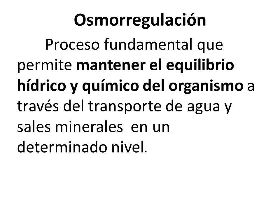 Osmorregulación Proceso fundamental que permite mantener el equilibrio hídrico y químico del organismo a través del transporte de agua y sales minerales en un determinado nivel.