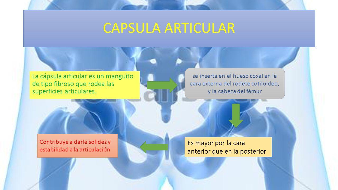 CAPSULA ARTICULAR La cápsula articular es un manguito de tipo fibroso que rodea las superficies articulares. Es mayor por la cara anterior que en la p