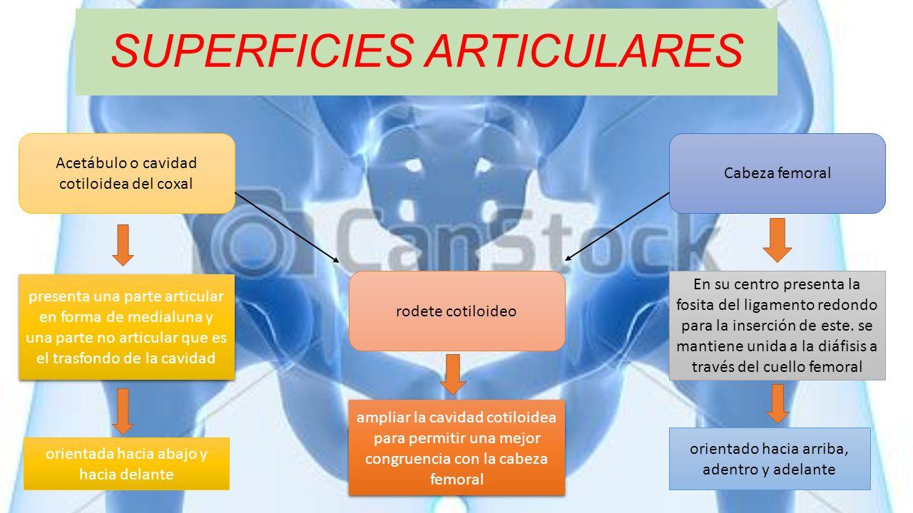 SUPERFICIES ARTICULARES Acetábulo o cavidad cotiloidea del coxal Cabeza femoral rodete cotiloideo ampliar la cavidad cotiloidea para permitir una mejo
