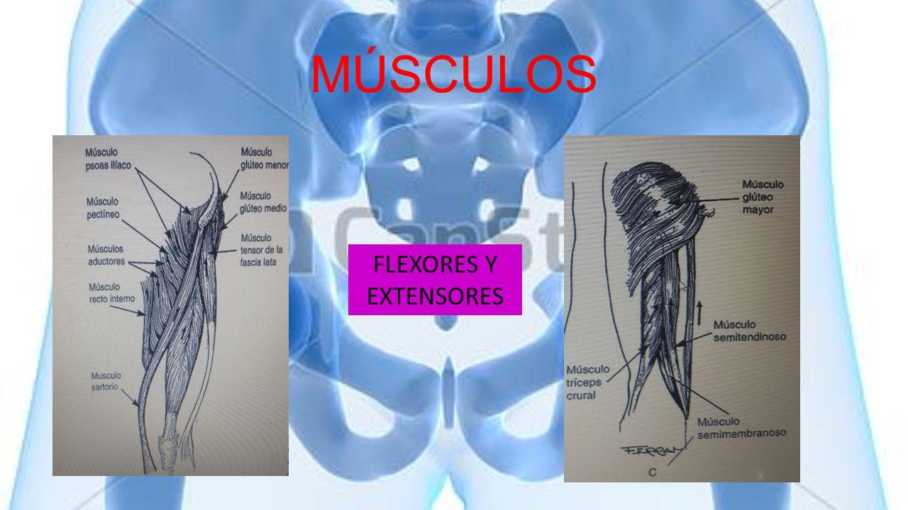 MÚSCULOS FLEXORES Y EXTENSORES