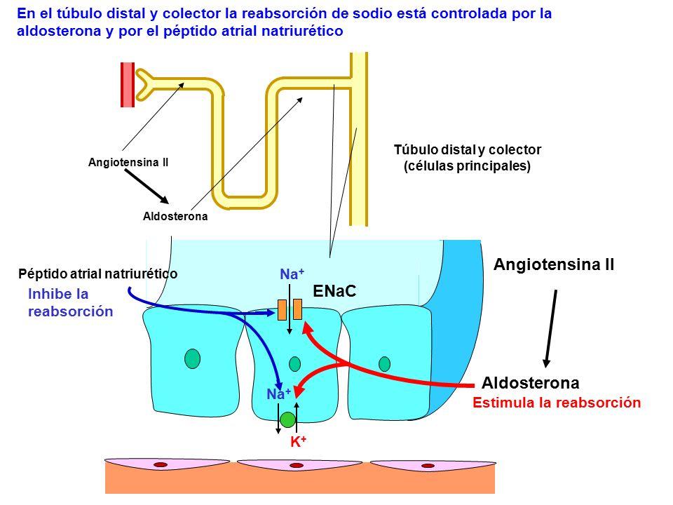 Na + K+K+ ENaC Aldosterona Estimula la reabsorción Angiotensina II Aldosterona En el túbulo distal y colector la reabsorción de sodio está controlada