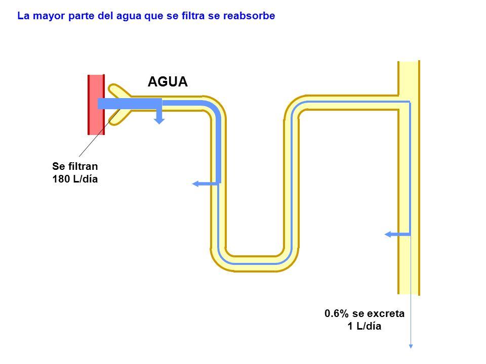 AGUA Se filtran 180 L/día 0.6% se excreta 1 L/día La mayor parte del agua que se filtra se reabsorbe