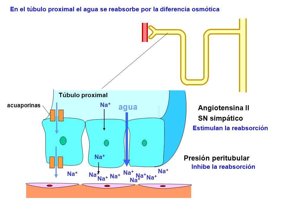 Estimulan la reabsorción Angiotensina II SN simpático Na + agua Na + Presión peritubular Inhibe la reabsorción En el túbulo proximal el agua se reabso