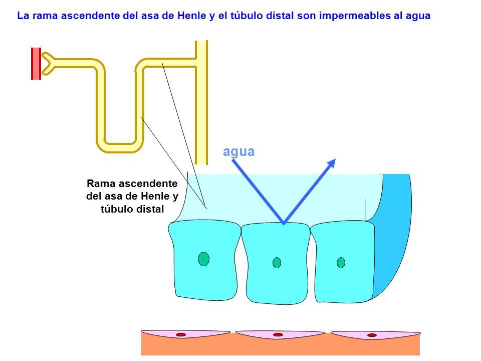 agua La rama ascendente del asa de Henle y el túbulo distal son impermeables al agua Rama ascendente del asa de Henle y túbulo distal