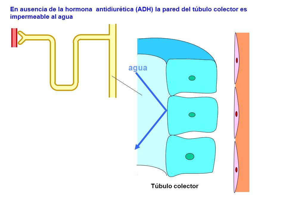 agua En ausencia de la hormona antidiurética (ADH) la pared del túbulo colector es impermeable al agua Túbulo colector