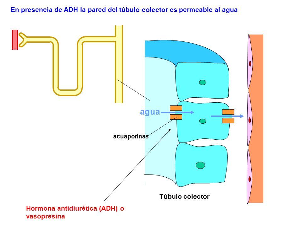 Hormona antidiurética (ADH) o vasopresina En presencia de ADH la pared del túbulo colector es permeable al agua agua acuaporinas Túbulo colector