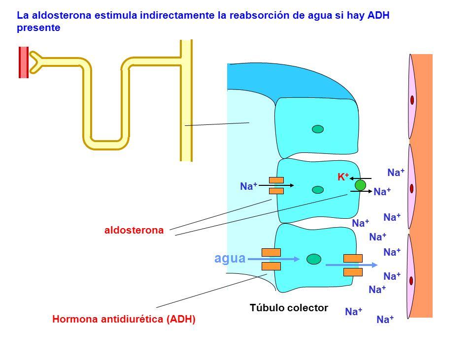 Hormona antidiurética (ADH) La aldosterona estimula indirectamente la reabsorción de agua si hay ADH presente agua Túbulo colector Na + K+K+ aldostero