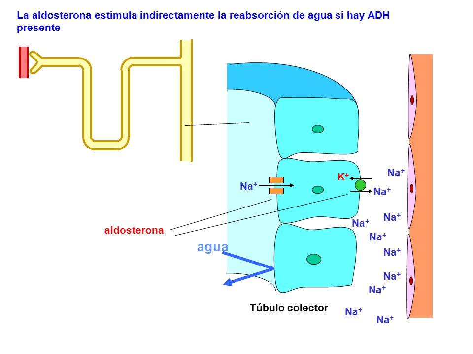 La aldosterona estimula indirectamente la reabsorción de agua si hay ADH presente Túbulo colector Na + K+K+ aldosterona Na + agua
