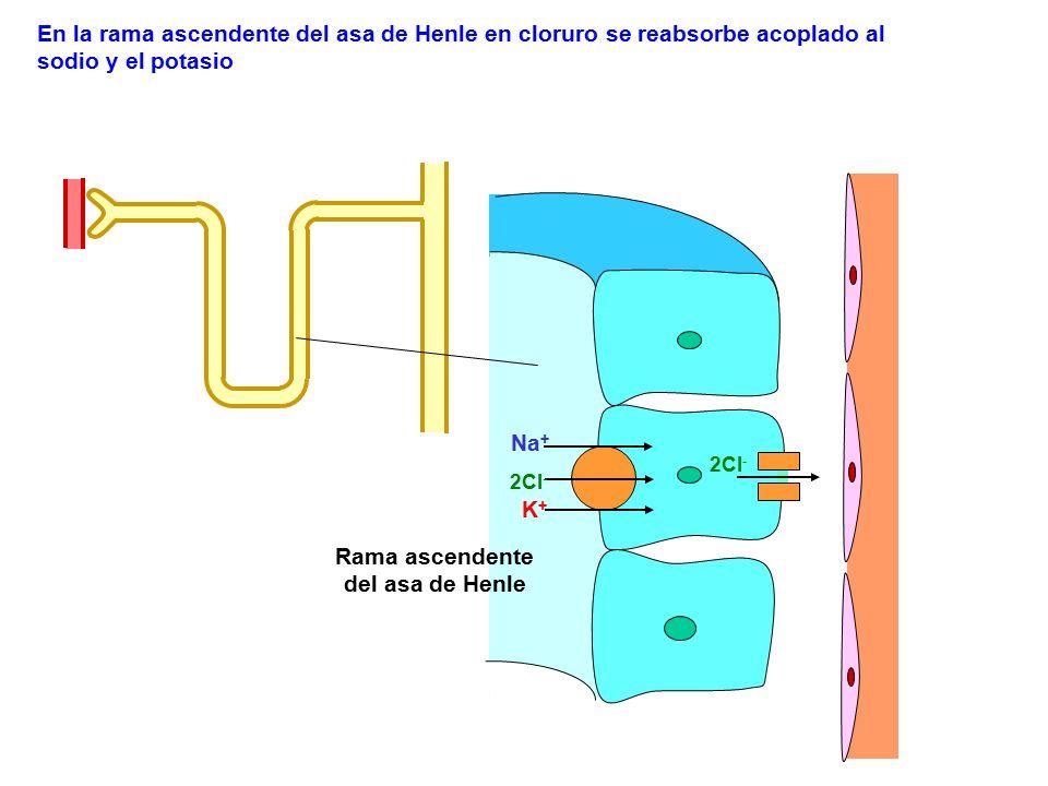 2Cl - Na + K+K+ En la rama ascendente del asa de Henle en cloruro se reabsorbe acoplado al sodio y el potasio 2Cl - Rama ascendente del asa de Henle