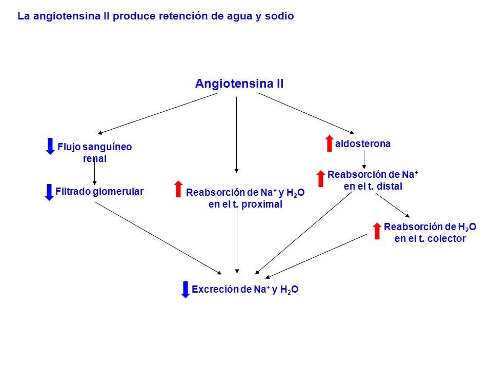 Angiotensina II Flujo sanguíneo renal Filtrado glomerular Reabsorción de Na + en el t. distal aldosterona Excreción de Na + y H 2 O Reabsorción de Na