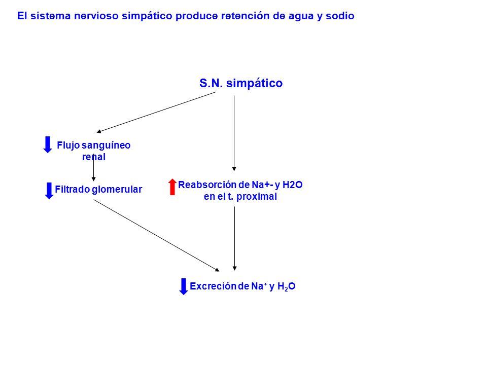 S.N. simpático Flujo sanguíneo renal Filtrado glomerular Excreción de Na + y H 2 O Reabsorción de Na+- y H2O en el t. proximal El sistema nervioso sim