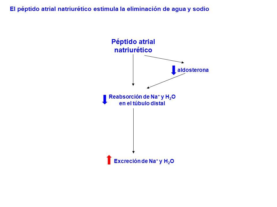 Péptido atrial natriurético Reabsorción de Na + y H 2 O en el túbulo distal Excreción de Na + y H 2 O aldosterona El péptido atrial natriurético estim