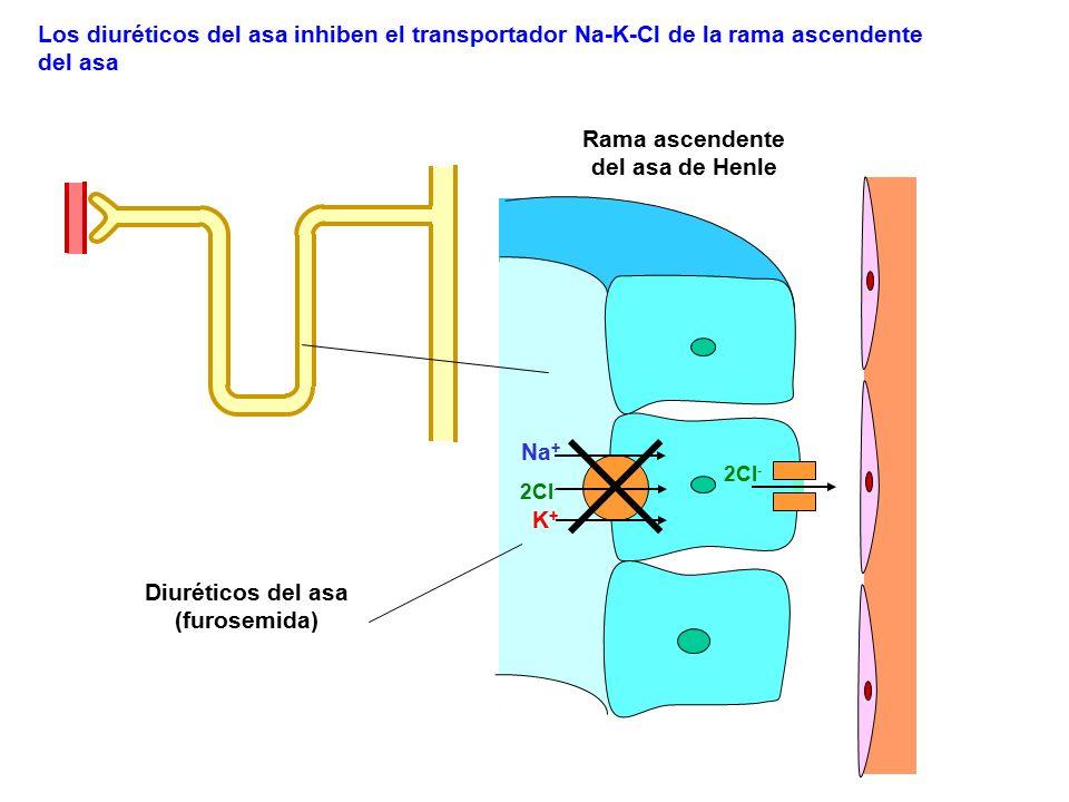 2Cl - Na + K+K+ Los diuréticos del asa inhiben el transportador Na-K-Cl de la rama ascendente del asa 2Cl - Rama ascendente del asa de Henle Diurético