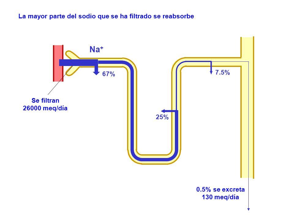 Na + Se filtran 26000 meq/día 67% 25% 7.5% 0.5% se excreta 130 meq/día La mayor parte del sodio que se ha filtrado se reabsorbe