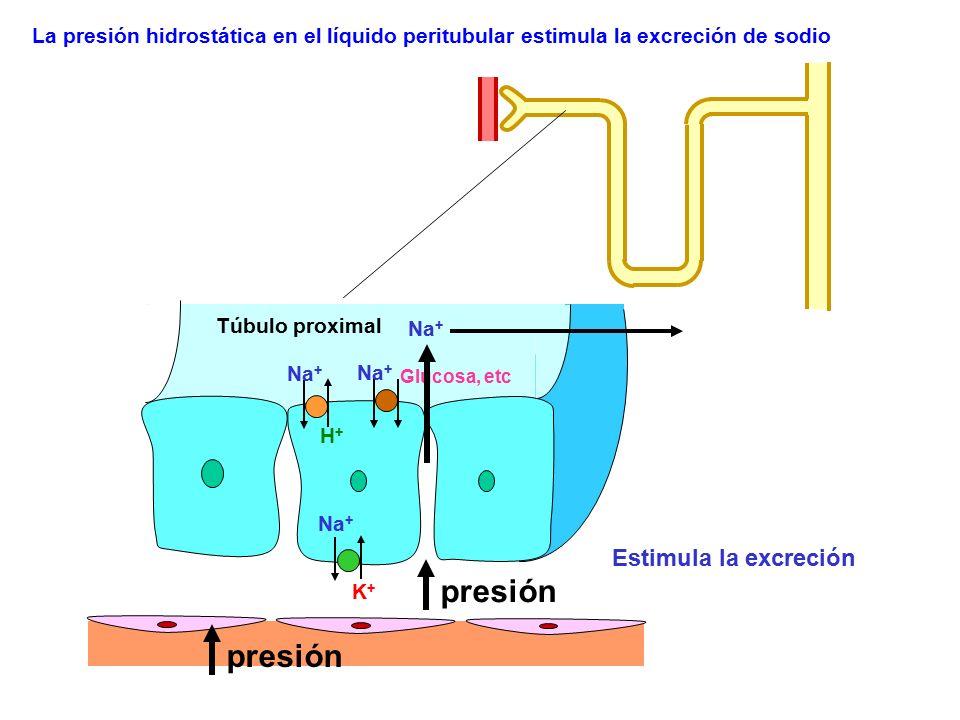 Na + K+K+ Glucosa, etc Na + H+H+ Estimula la excreción presión Na + La presión hidrostática en el líquido peritubular estimula la excreción de sodio T