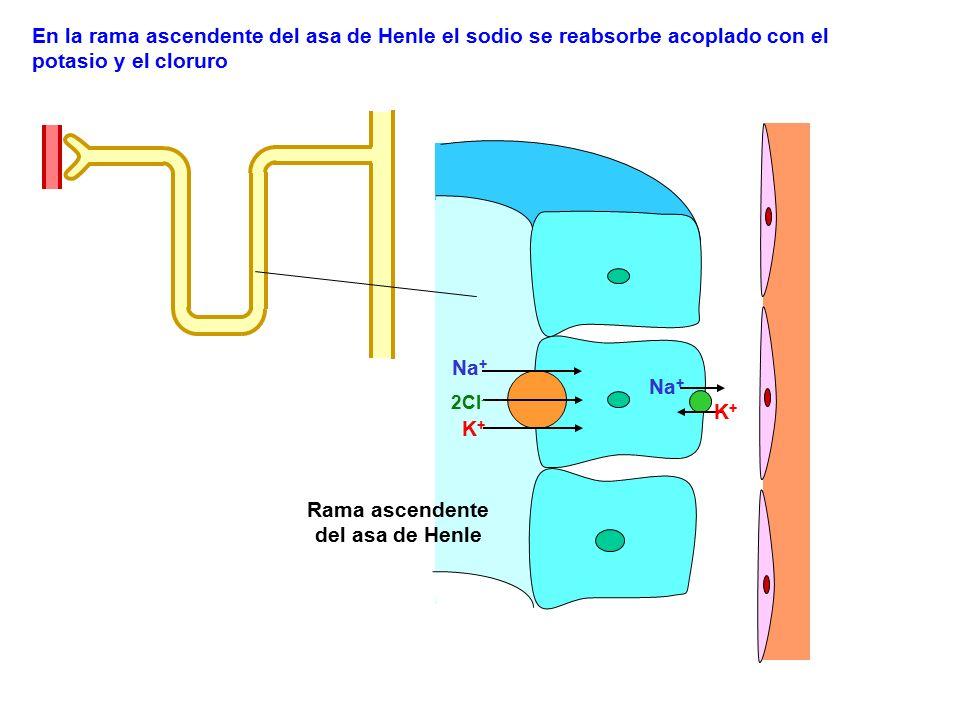 Na + K+K+ 2Cl - Na + K+K+ En la rama ascendente del asa de Henle el sodio se reabsorbe acoplado con el potasio y el cloruro Rama ascendente del asa de