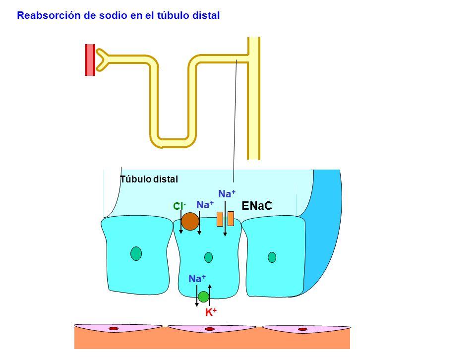 Na + K+K+ ENaC Reabsorción de sodio en el túbulo distal Na + Túbulo distal Cl - Na +