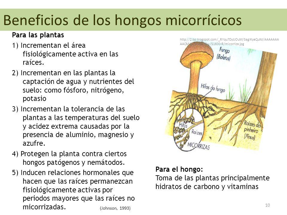 Beneficios de los hongos micorrícicos Para las plantas 1) Incrementan el área fisiológicamente activa en las raíces.