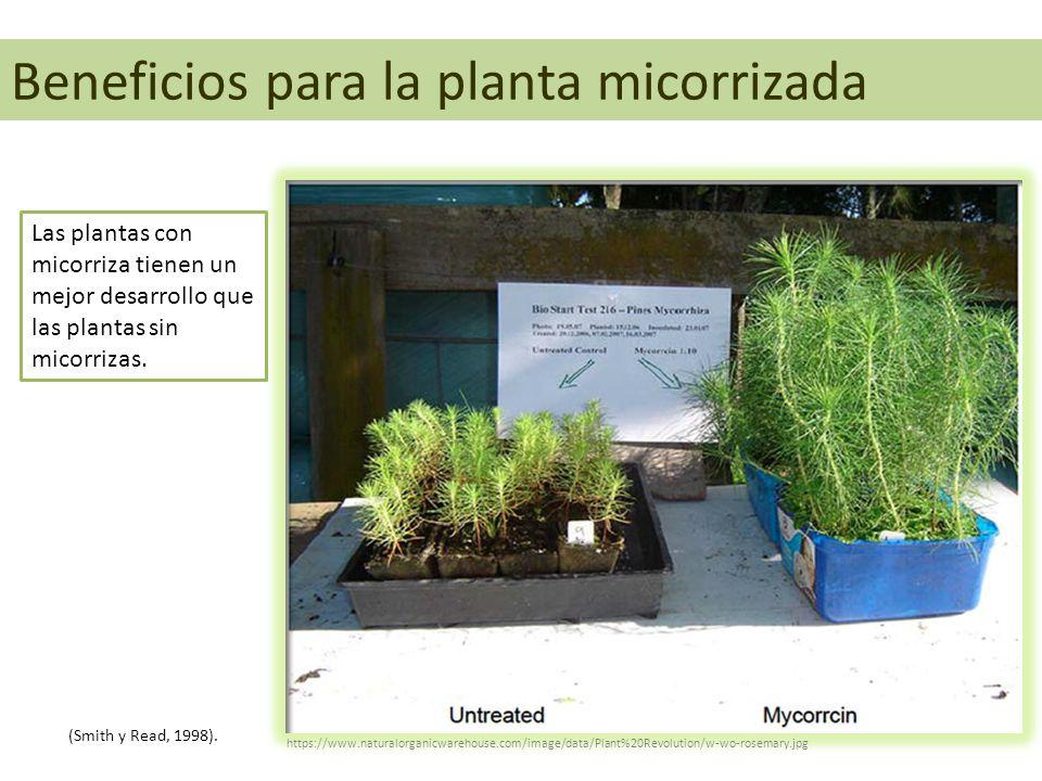 Beneficios para la planta micorrizada Las plantas con micorriza tienen un mejor desarrollo que las plantas sin micorrizas. (Smith y Read, 1998). https