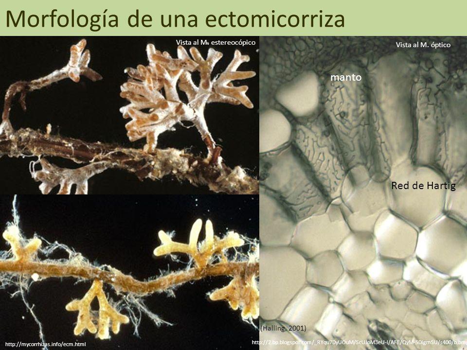 Morfología de una ectomicorriza (Halling, 2001) manto Red de Hartig Vista al M. estereocópico http://mycorrhizas.info/ecm.html Vista al M. óptico http