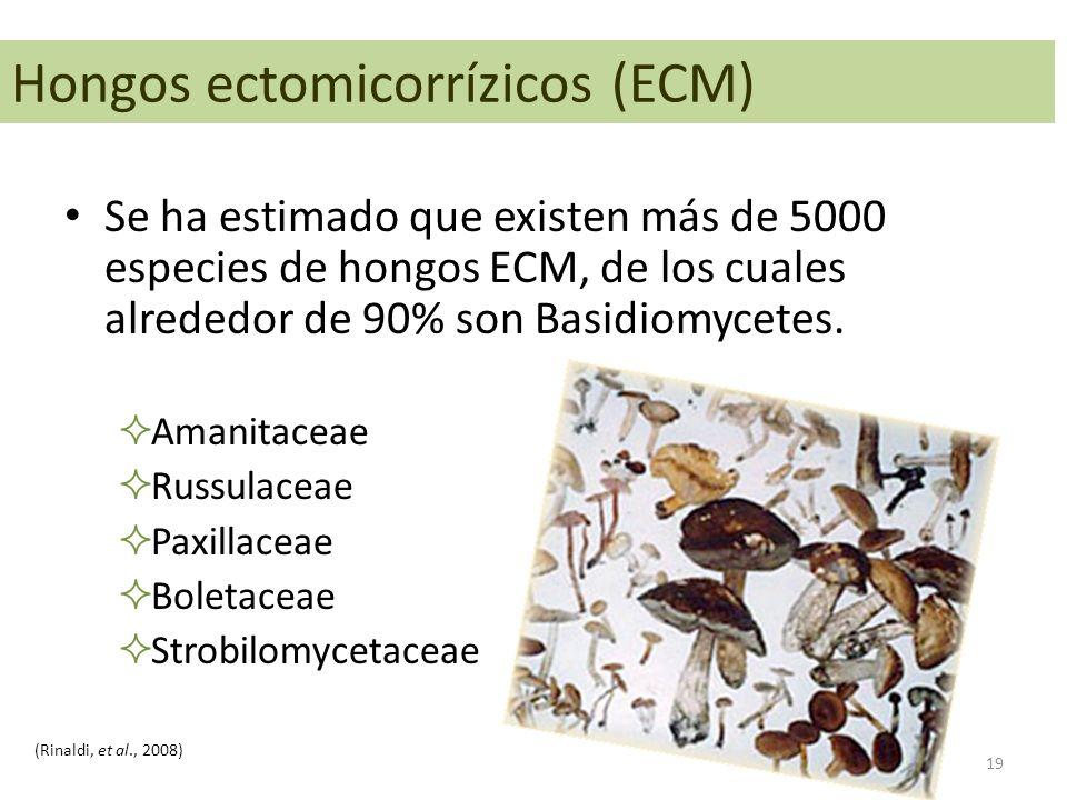 Se ha estimado que existen más de 5000 especies de hongos ECM, de los cuales alrededor de 90% son Basidiomycetes.  Amanitaceae  Russulaceae  Paxill