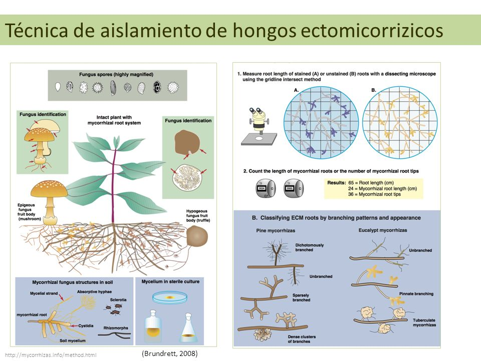Técnica de aislamiento de hongos ectomicorrizicos http://mycorrhizas.info/method.html (Brundrett, 2008)