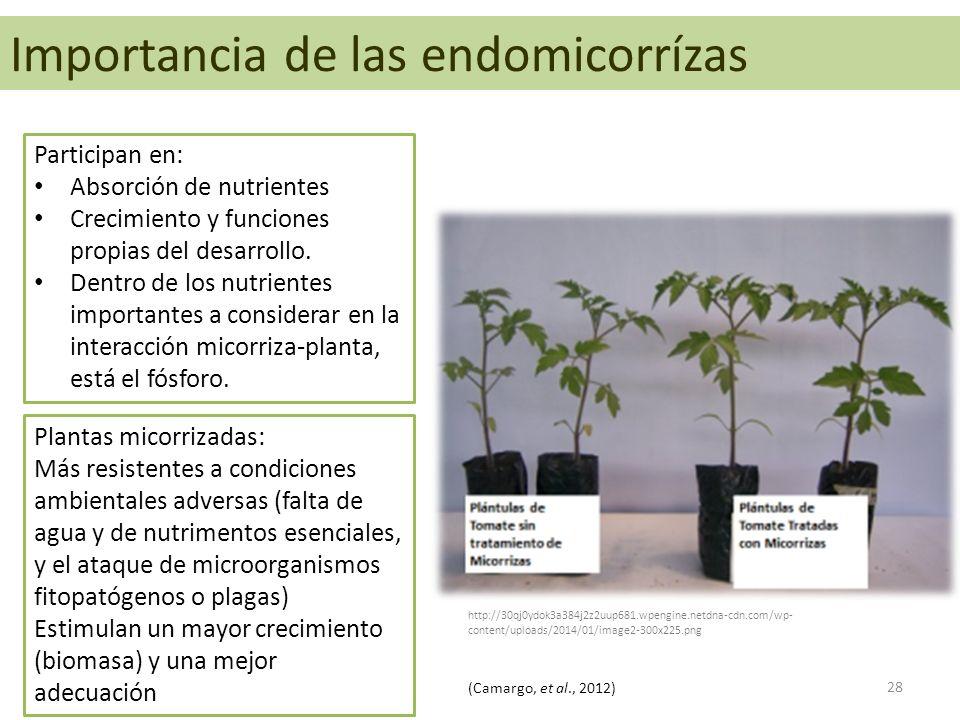 Endomicorrizas Participan en: Absorción de nutrientes Crecimiento y funciones propias del desarrollo. Dentro de los nutrientes importantes a considera