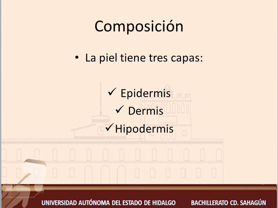 Epidermis Es la parte más expuesta de la piel Formada por queratinocitos Entre sus funciones esta la renovación continua Las capas que la conforman son: células (basales, espinales y glandulares) y escamas.