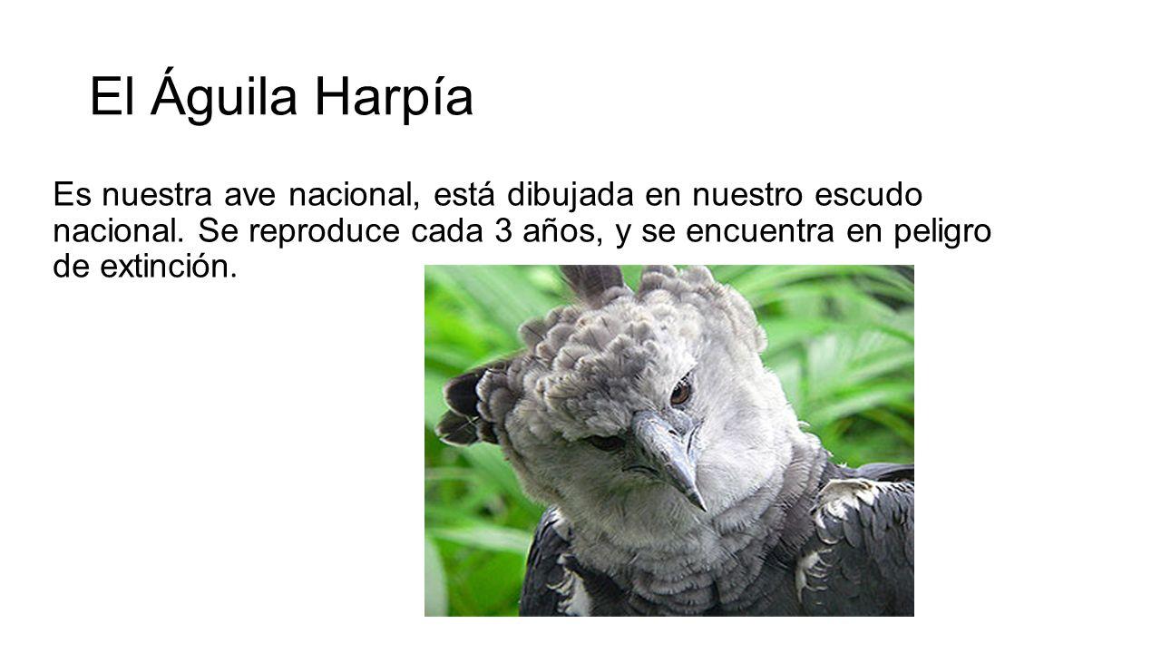 El Águila Harpía Es nuestra ave nacional, está dibujada en nuestro escudo nacional.