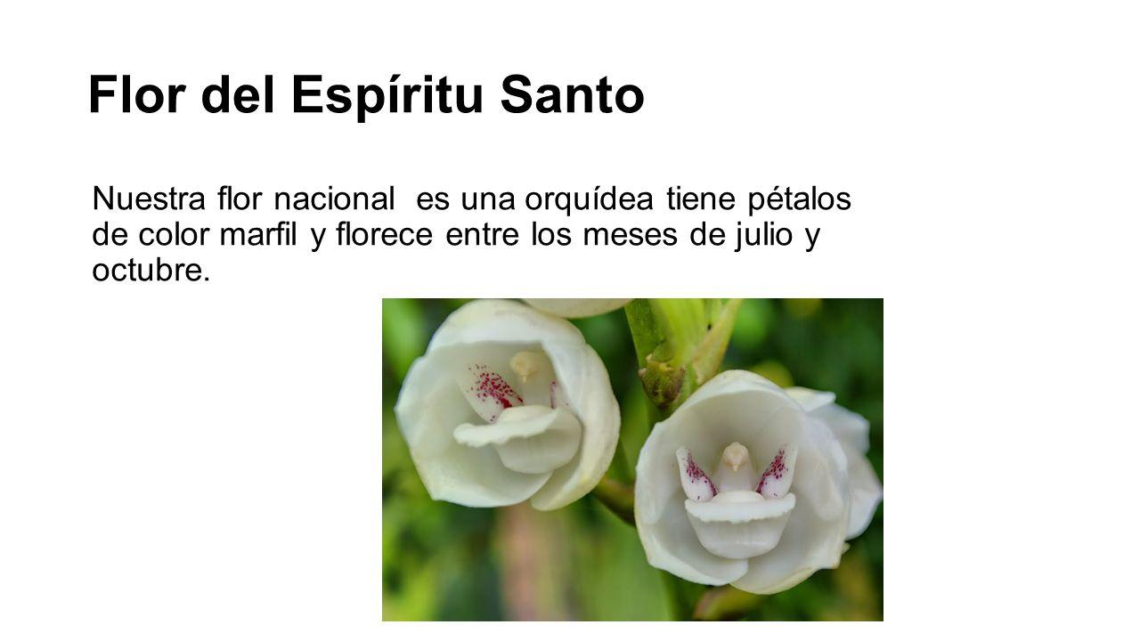 Flor del Espíritu Santo Nuestra flor nacional es una orquídea tiene pétalos de color marfil y florece entre los meses de julio y octubre.