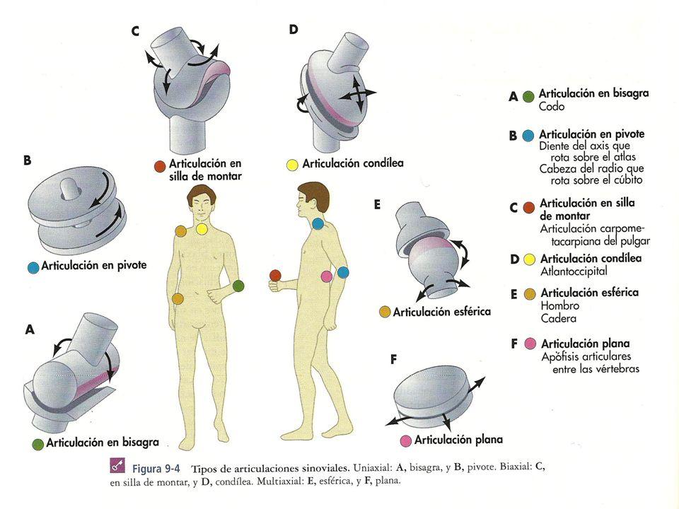Tipos de movimientos articulares: Angulares: Flexión: Reducir el ...