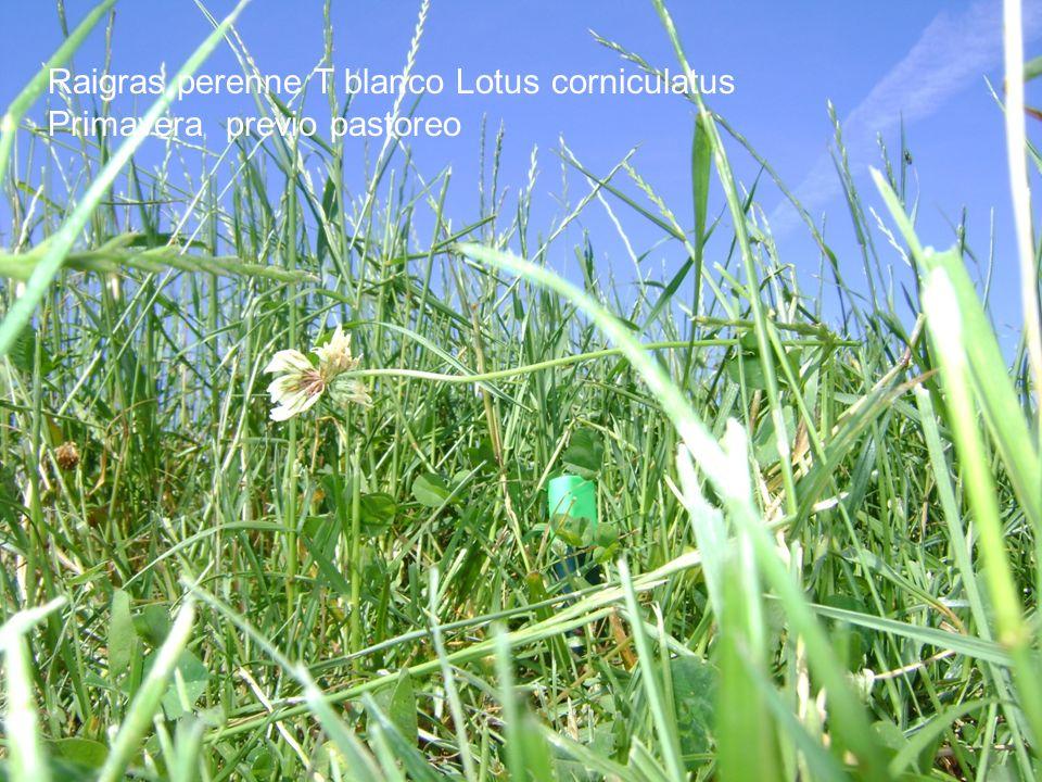 Raigras perenne T blanco Lotus corniculatus Primavera previo pastoreo