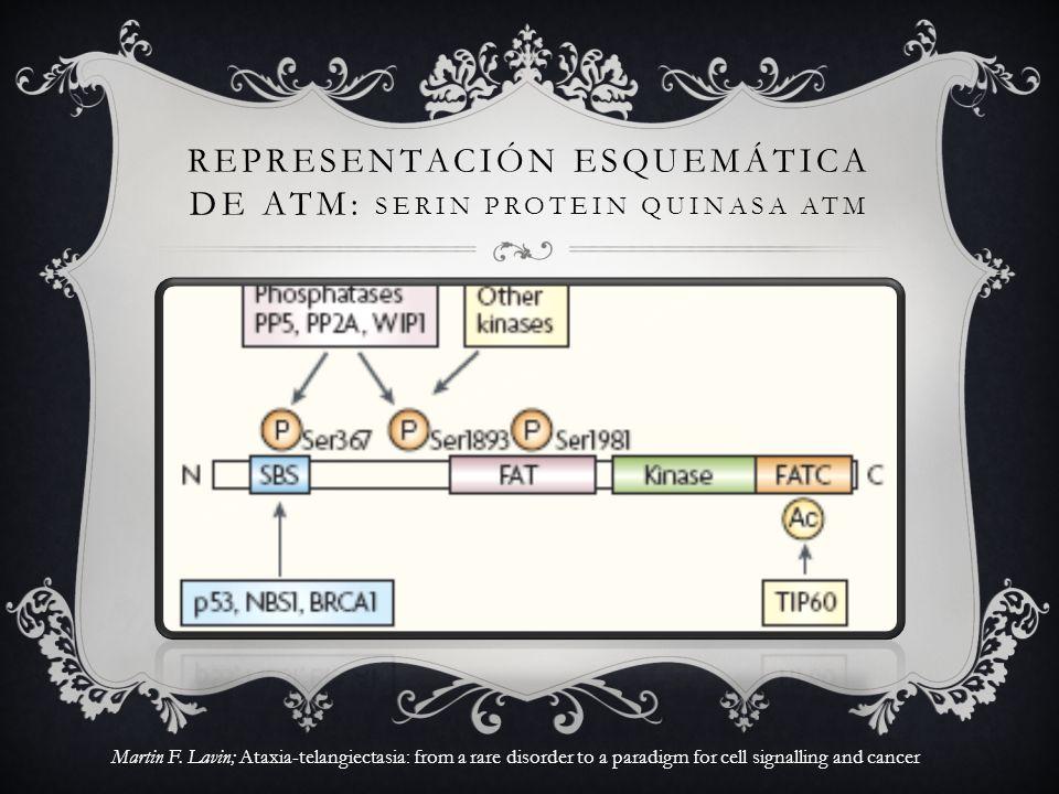 REPRESENTACIÓN ESQUEMÁTICA DE ATM: SERIN PROTEIN QUINASA ATM Martin F. Lavin; Ataxia-telangiectasia: from a rare disorder to a paradigm for cell signa