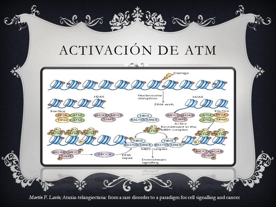 ACTIVACIÓN DE ATM Martin F. Lavin; Ataxia-telangiectasia: from a rare disorder to a paradigm for cell signalling and cancer